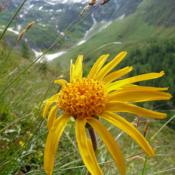 App Icon: Heilpflanzen der Alpen